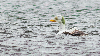 With any luck, this beauty: Spectacled Eider! Photos by guide Doug Gochfeld.