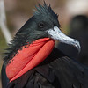 Participant Ken Havard photographed this brilliant male Magnificent Frigatebird, which shows a bit of the purplish back sheen to confirm its identity.