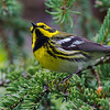 Wrapping up our Alaska photos for this month, one of the many landbird gems in the southern forests: Townsend's Warbler. Photo by participant Tony Quezon.