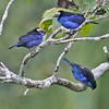 It's fun to see two Opal-crowned and an Opal-rumped Tanager -- two quite similar species -- in the same canopy view! Photo by participant Jerry Oldenettel.
