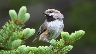Boreal Chickadee is always on a most-wanted list on our Newfoundland/N.S. and other Canada tours. Photo by guide Cory Gregory.
