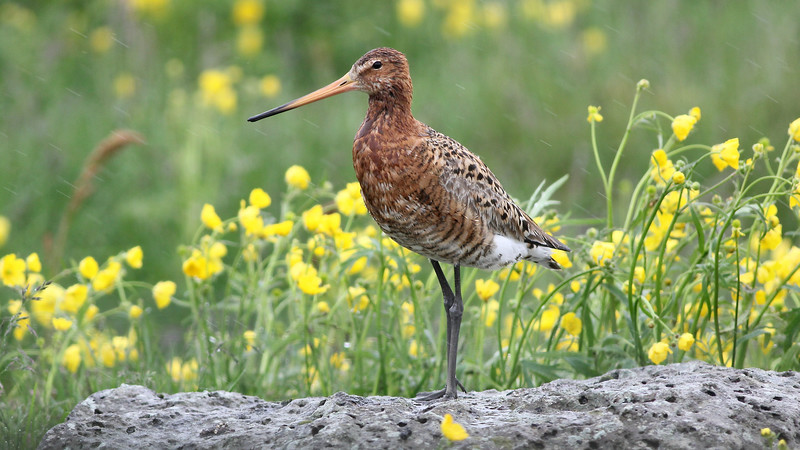 Iceland is home to significant populations of breeding shorebirds, among them the stately Black-tailed Godwit. Photo by guide Eric Hynes.