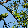 Little-known Kawall's Parrots are one of the specialties of the region. Photo by participant Valerie Gebert.