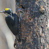 This Black-backed Woodpecker was very busy re-supplying some large, ravenous young still in the nest. Photo by participant Steve Rannels.