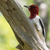 Sometimes the simplest pattern can be the most elegant: Red-headed Woodpecker. Photo by guide Tom Johnson.
