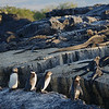 Galapagos Penguins and Marine Iguanas compete for the rocky shoreline on Isla Isabela. Photo by guide Jesse Fagan.