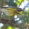 This migrant Magnolia Warbler seemed almost as curious about us as were were about it. Photo by guide Tom Johnson.