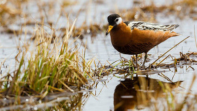 Brilliant female Red Phalaropes dot the flooded tundra around Barrow, near the northernmost mainland point in the US. Photo by partcipant Tony Quezon.