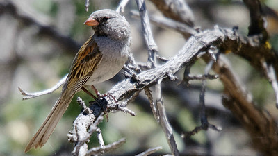 "Black-chinned Sparrow is one of the many attractive ""standard"" Arizona birds we found along our way. Photo by participant Len Sander."