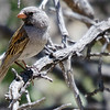 """Black-chinned Sparrow is one of the many attractive """"standard"""" Arizona birds we found along our way. Photo by participant Len Sander."""