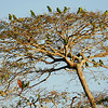 A tree literally full of Kawall's Parrots...with a pair of Chestnut-fronted Macaws sneaking in to mix things up a bit. Photo by participant Valerie Gebert.