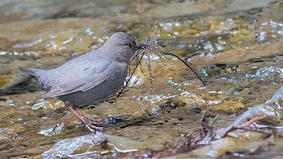 Alaska has so many great birds to see: this American Dipper was carrying material to a nest near Seward. Photo by guide Doug Gochfeld.