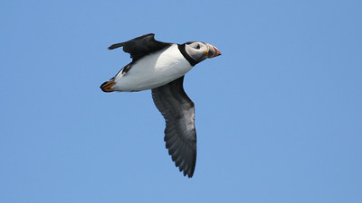 Atlantic Puffins? Yes, we saw scads of them, and very well! Photo by guide Chris Benesh.