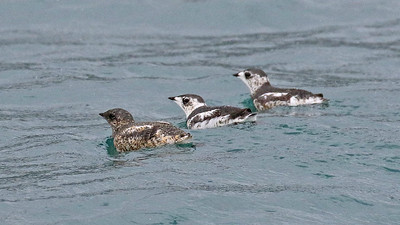 ...and where Kittlitz's Murrelet was one of the highlight species. Photo by participant Steve Rannels.
