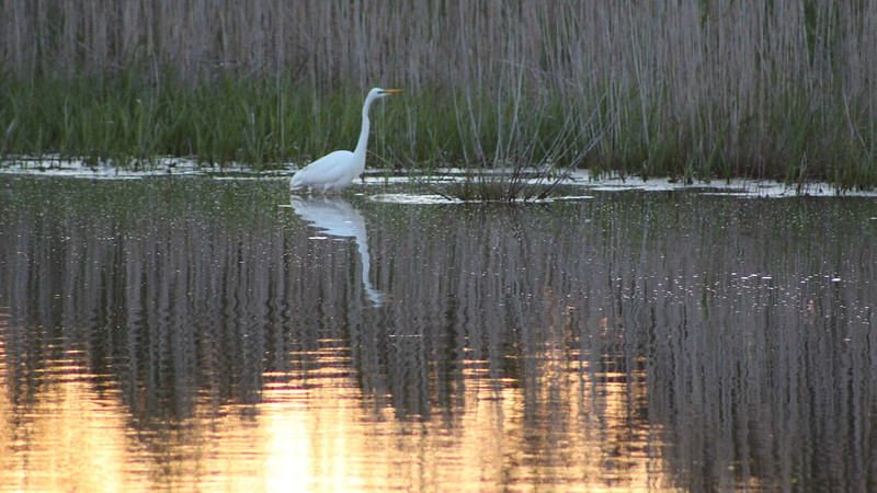 "Great Egret became an attractive prop for this cool scene by ""Spring in Cape May"" participant Leslie Crocker."