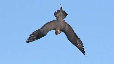 Participant Steve Rannels captured this Parasitic Jaeger in full swoop and full spread...spectacular!