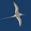 Ken Havard also captured this beautiful Red-billed Tropicbird profile overhead.