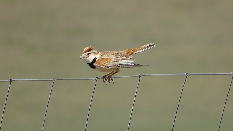 It can be a bit breezy on the open steppe, and this Mongolian Lark at Khustai looks like it's hanging on tight. Photo by guide Phil Gregory.