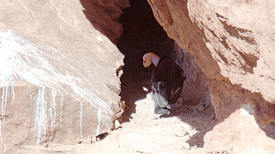 """Let's slip far to the southwest. California Condor is the marquee species for our """"Northern Arizona Canyons & Condor"""" tour, and both departures this year had great luck with these prehistoric looking birds! Photo by participant Len Sander."""