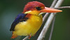 This little gem is a Rufous-backed Dwarf-Kingfisher. Photo by participant Raymond Jeffers.