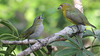 Guide Mitch Lysinger captured this image of Golden-bellied Euphonias.