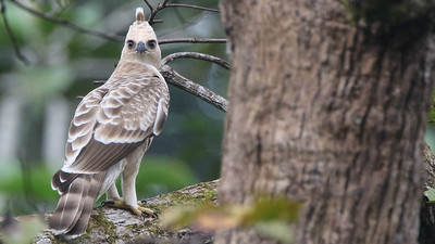 A ghostly Wallace's Hawk-Eagle directed a penetrating stare at us. Photo by participant Raymond Jeffers.
