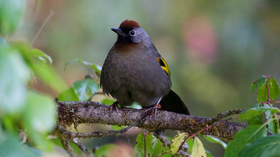 We had a fantastic view of Silver-eared Laughingthrush. Photo by participant Fred Dalbey.