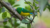 One of the many colorful delights on this tour was Blue-naped Chlorophonia. Photo by guide Richard Webster.