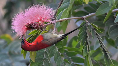 The blossoms are beautiful but are no match for this Crimson Sunbird's beauty. Photo by participant Becky Hansen