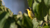 A Masked Yellowthroat emerges from the vegetation in full song.  Photo by guide Tom Johnson.
