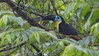 An un-patterned bill is a rarity among toucans and identifies this species as a Channel-billed.  Photo by guide Tom Johnson.