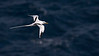 We see Red-billed Tropicbirds regularly on Little Tobago Island, but this White-tailed Tropicbird was most unexpected.  Photo by guide Tom Johnson.