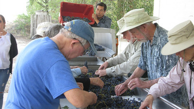 After the harvest, it's on to sorting the grapes. Photo by participant Becca Serdehely.
