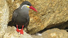 This striking Inca Tern was photographed by participant Dennis Serdehely.