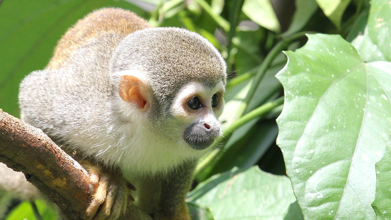 We had some up close and personal experiences with Common Squirrel Monkeys. Photo by guide Mitch Lysinger.