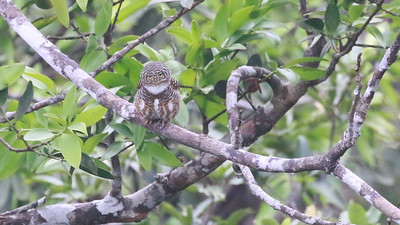 This diminutive Collared Owlet was sporting quite the hairdo. Photo by guide Dave Stejskal.