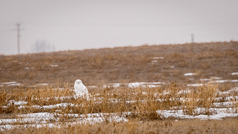 A winter owl tour would be incomplete without a Snowy Owl sighting. Photo by participant Pieter Poll.