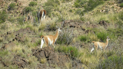 We found Guanacos south of Mendoza. These camelids are among the largest land mammals in South America. Photo by participant Neil McDonal.