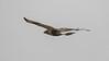 A Rough-legged Hawk kept an eye on us as it flew away. Photo by guide Chris Benesh.