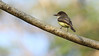 We were happy to see Sad Flycatchers. Photo by guide Eric Hynes.