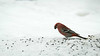Male Pine Grosbeaks come in the most lovely shades of red. Photo by participant Pieter Poll.