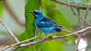 A vivid male Blue Dacnis is a visual treat -- note the pink legs, there's a Black-legged Dacnis, too. Photo by participant David Disher.