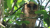 If you spend enough time in the field, sometimes you get lucky. Our first Jamaica tour came upon an adult Jamaican Owl roosting with this fledgling. Photo by participant Brian Armstrong.