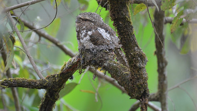 We found a cryptic Hodgson's Frogmouth occupying its nest. Photo by participant Fred Dalbey.