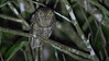 Guide Tom Johnson snapped this image of a Tropical Screech-Owl.