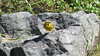 We were at high elevation when we caught up to Greater Yellow-Finch. Photo by participant Neil McDonal.