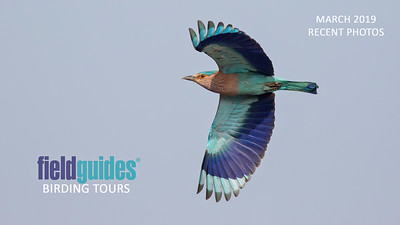 This splendid flight shot of an Indian Roller by guide Tom Johnson from our Northern India tour launches our March Recent Photos Gallery. We are excited to share photographic highlights from our recent Japan, Brazil, Colombia, Antarctica, Trinidad & Tobago, Cambodia, Canada, Jamaica, Panama, and Guatemala tours!