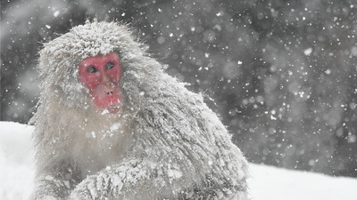 """Watching Snow Monkeys as fresh flakes fell all around us was magical,"" wrote one participant. Known also as Japanese Macaque, or simply the local name of ""saru,"" these primates are endemic to Japan and live in matrilineal societies. Photo by participant Becky Hansen."
