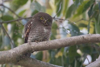 We challenge you to look at this image of a Jungle Owlet and not think the word cute. (Impossible!) This species, like the more widespread Spotted Owlet, is often active during the day, even in areas bustling with human activity. Photo by guide Tom Johnson.
