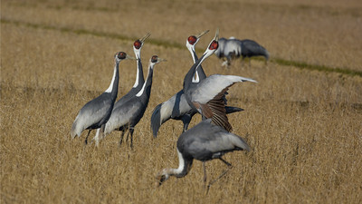 Love was in the air for these captivating White-naped Cranes. This species breeds mostly in Mongolia, China, and Russia, but there is a record of breeding from Hokkaido, Japan (1985), where our tour found this flock. Photo by participant Becky Hansen.